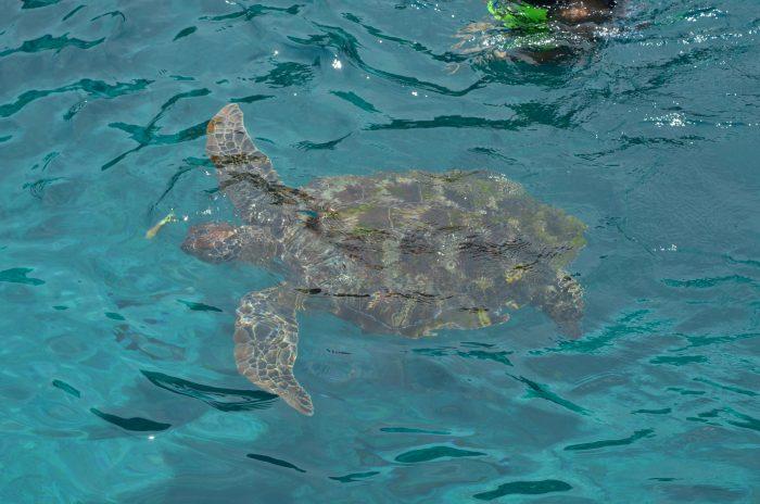 Черепаха у симиланских островов